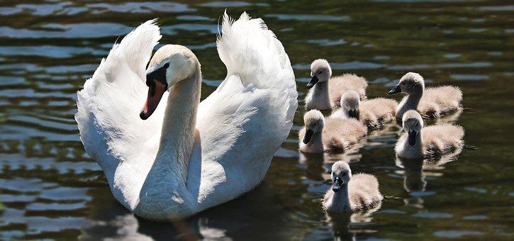 Swan, Swan Babies, Baby Swans