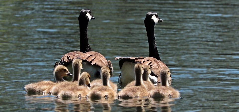 Geese, Goose Family, Family, Goslings, Water, Swim