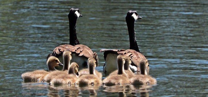 Geese, Goose Family, Family, Goslings