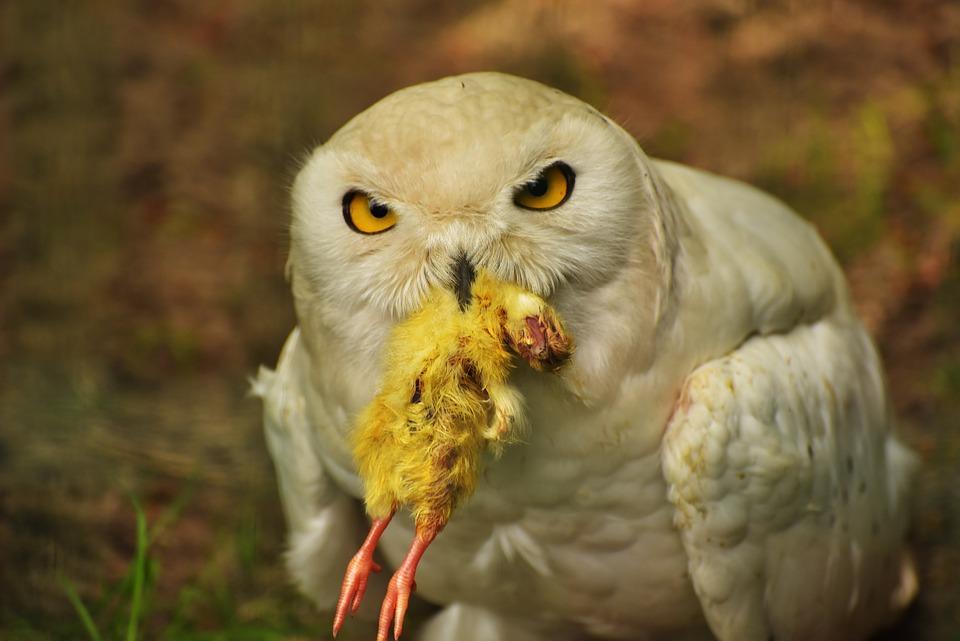 Owl Snowy Eat Free Photo On Pixabay