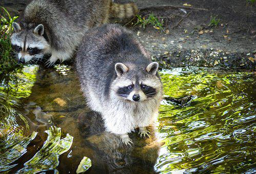 Raccoon, Cute, Bear, Funny, Mammal, Face