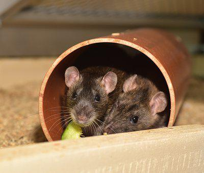 Rat, Color Rat, Rodent, Animal, Mammal