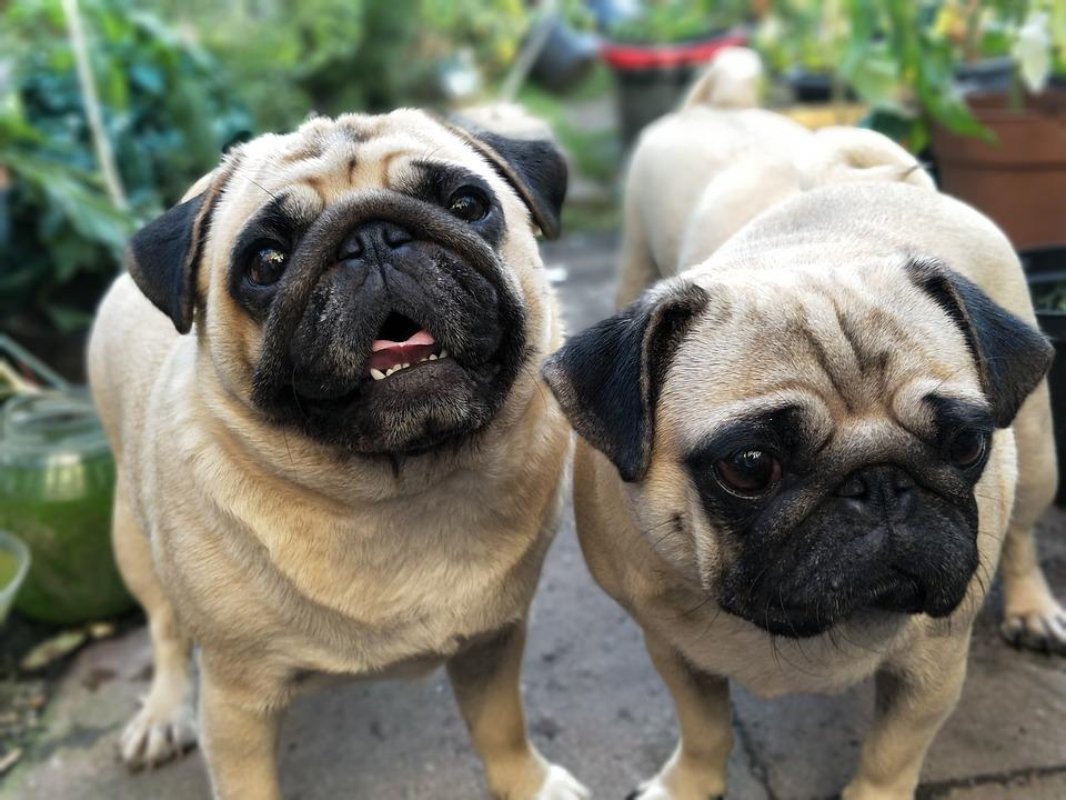 Pugs Pug Dogs Free Photo On Pixabay