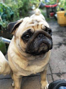 Pugs, Pug, Dogs, Garden, Cute, Waiting
