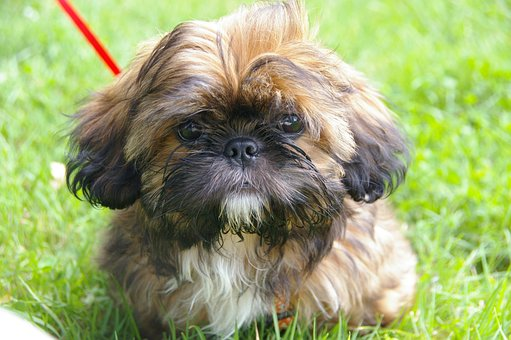 Animal Portrait, Puppy, Dog, Shih Tzu