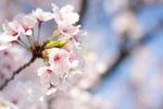 spring, cherry, pink