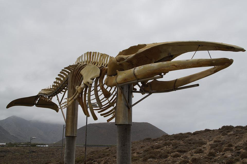 Esqueleto De Ballena Wal · Foto gratis en Pixabay