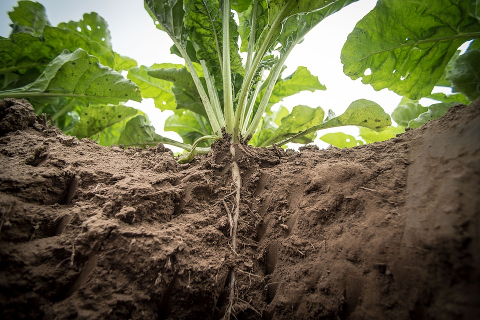 semear nabos e nabiças