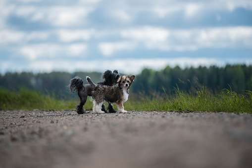 Dogs, Summer, Chinese Crested The
