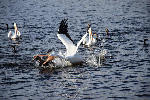 Pelican, Fishing, Action, Dramatic