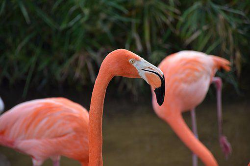 Flamingo, Portrait, Head, Closeup, Pink