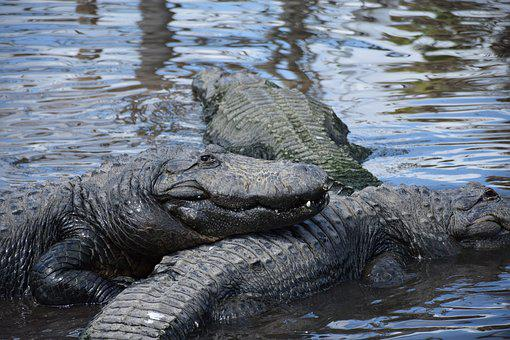 Alligator, Closeup, Smiling, Gators