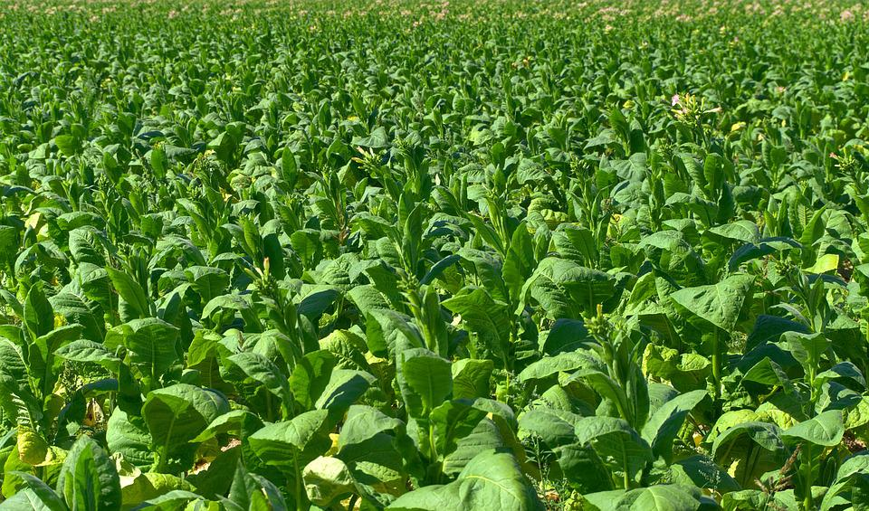 tobacco field plantation  u00b7 free photo on pixabay