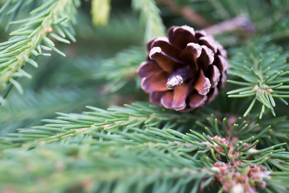 Weihnachtsbaum natur