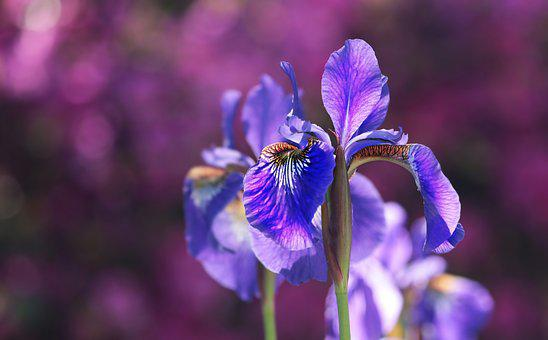 Iris, Blossom, Bloom, Blue, Flower