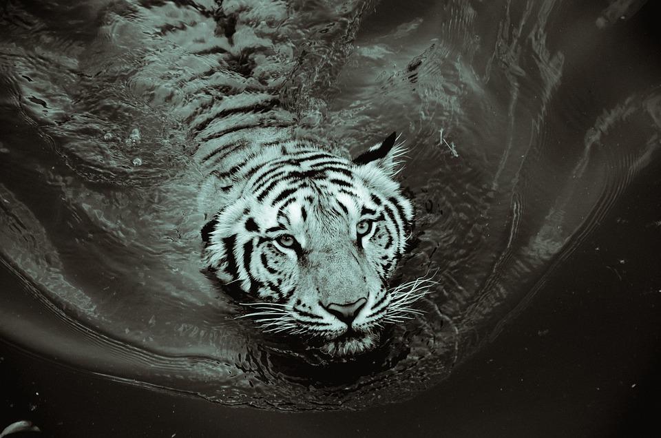 Harimau Hitam Dan Putih Foto Gratis Di Pixabay