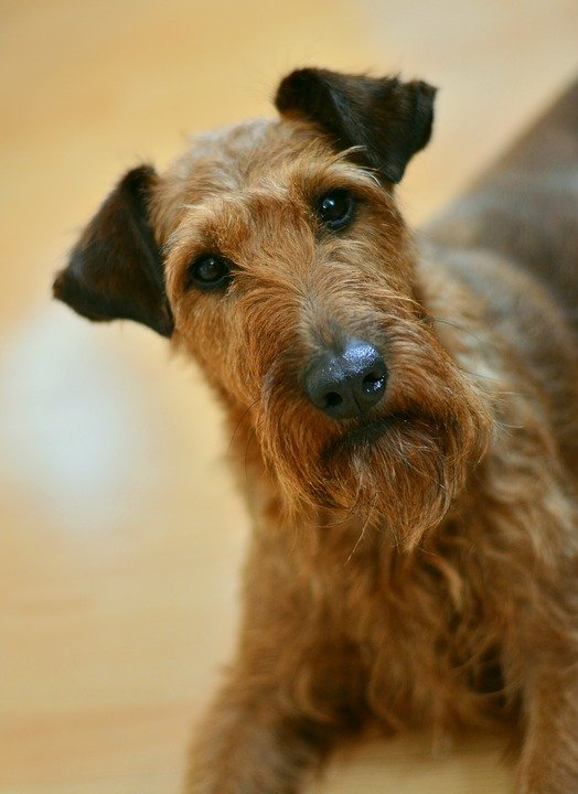 hond ierse terriër - gratis foto op pixabay