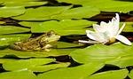 żaba, woda żaba, żaba staw