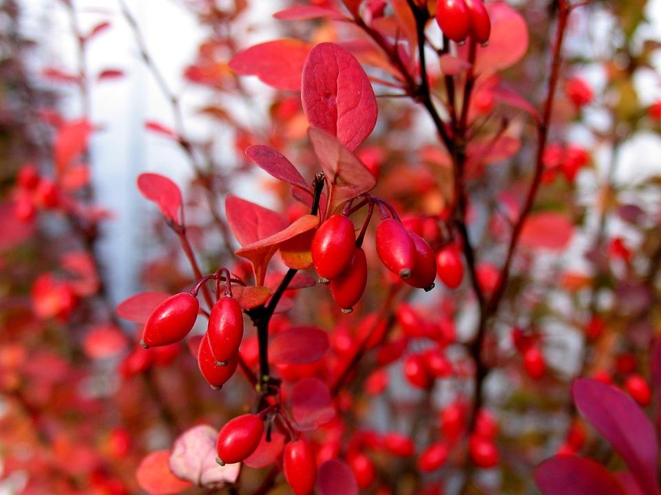 Épine-Vinette, Automne, Berry, Arbuste