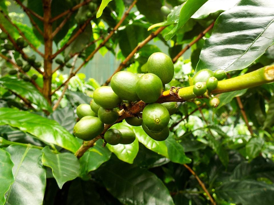 Café, Grains De Café, Haricots, Usine De Café, Plantes
