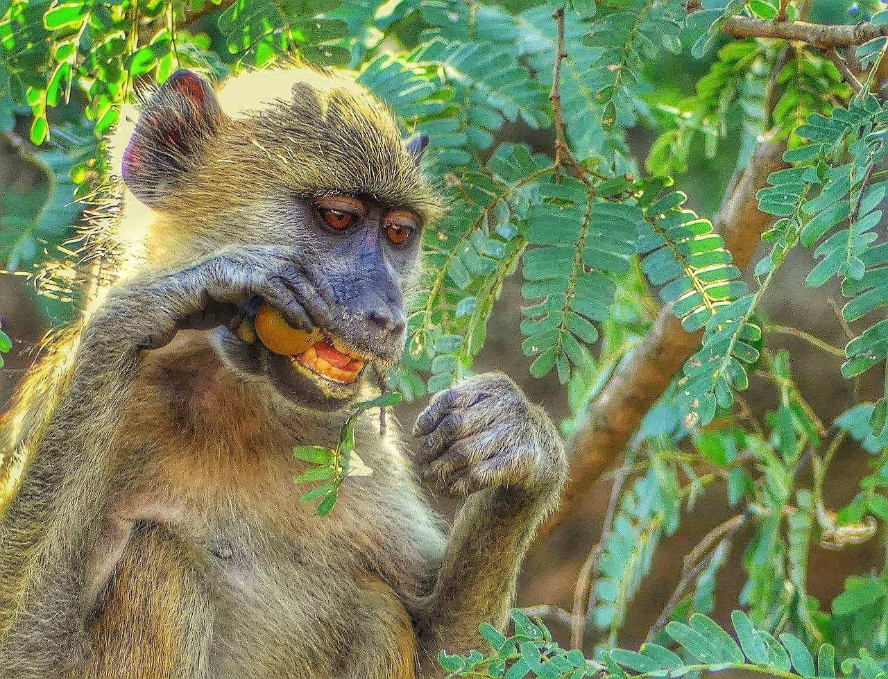 лицу обитание обезьян в картинках физиологический мазеподобный