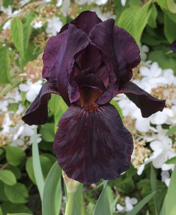 Black Iris Flower Plant Purple Garden