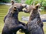 bear, young bear