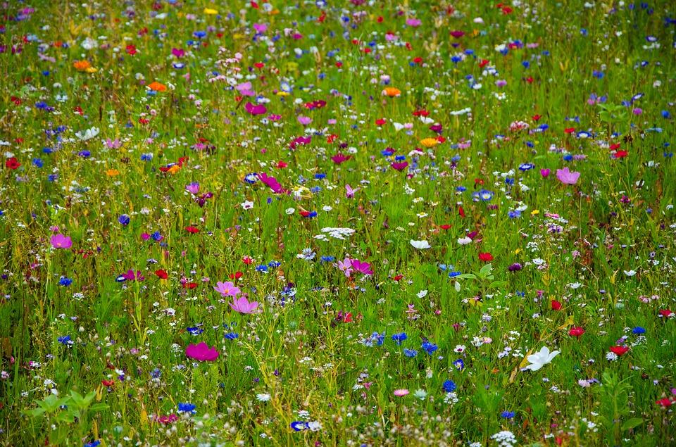 flower meadow colorful cornflowers free image on pixabay. Black Bedroom Furniture Sets. Home Design Ideas