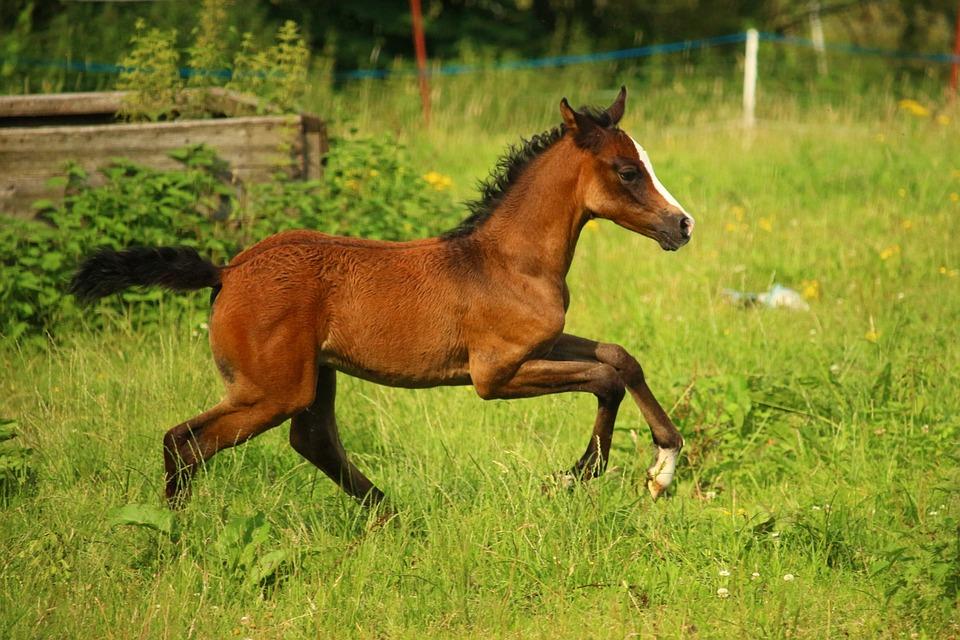Horse, Suckling, Foal, Thoroughbred Arabian, Pasture