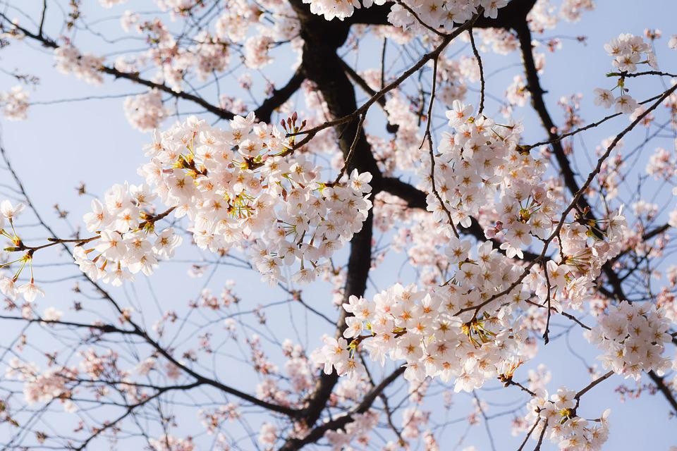 Cherry Blossoms Spring Japan - Free photo on Pixabay