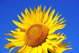 Sunflower, Blossom, Bloom, Pollen