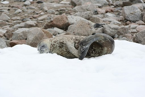 Seal, Snow, Antarctic, Neco Island