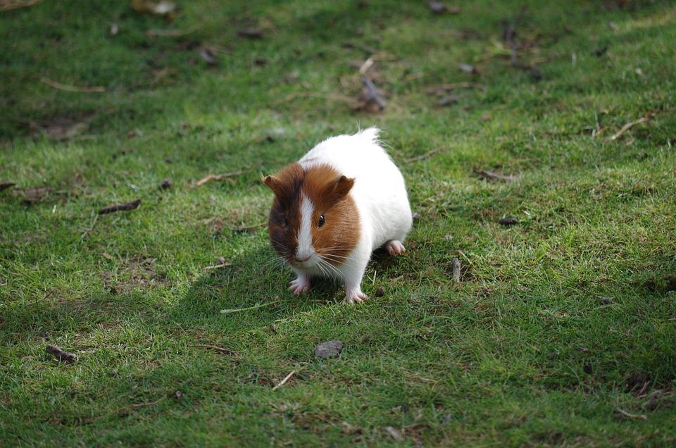 Cochon De Guinée, Animal, Hamster, Cheveux
