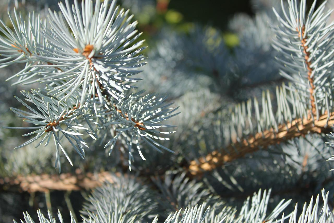Pictures of blue spruce What is spruce decline and what should you do about it? MSU