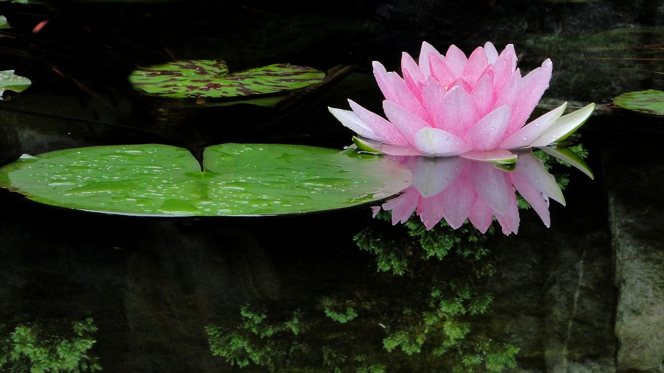 lotus, flower  free images on pixabay, Natural flower