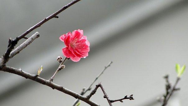 꽃, 복숭아의 꽃, 봄, 봄 Dance