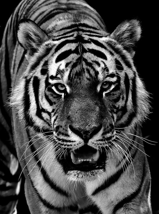300+ Free White Tiger Pictures - Pixabay