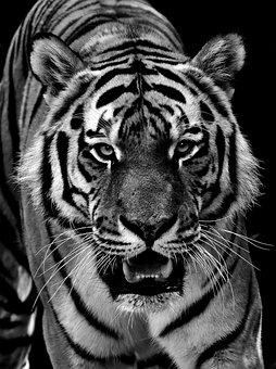 5400 Koleksi Gambar Keren Macan Gratis