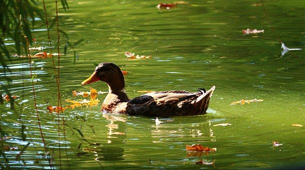 Duck, Park, Water, Wildlife, Environment