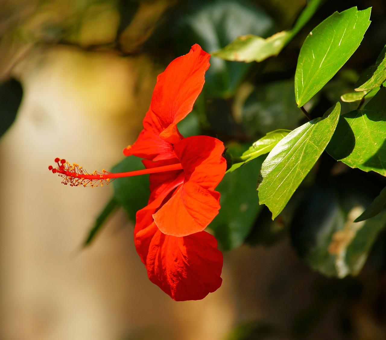 Цветок цветет красными цветами фото