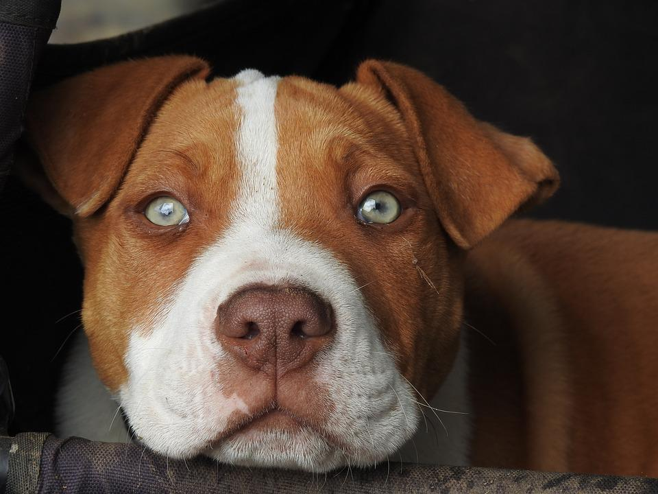 100+ Pictures of Pitbull Dogs & Puppies in HD - Pixabay