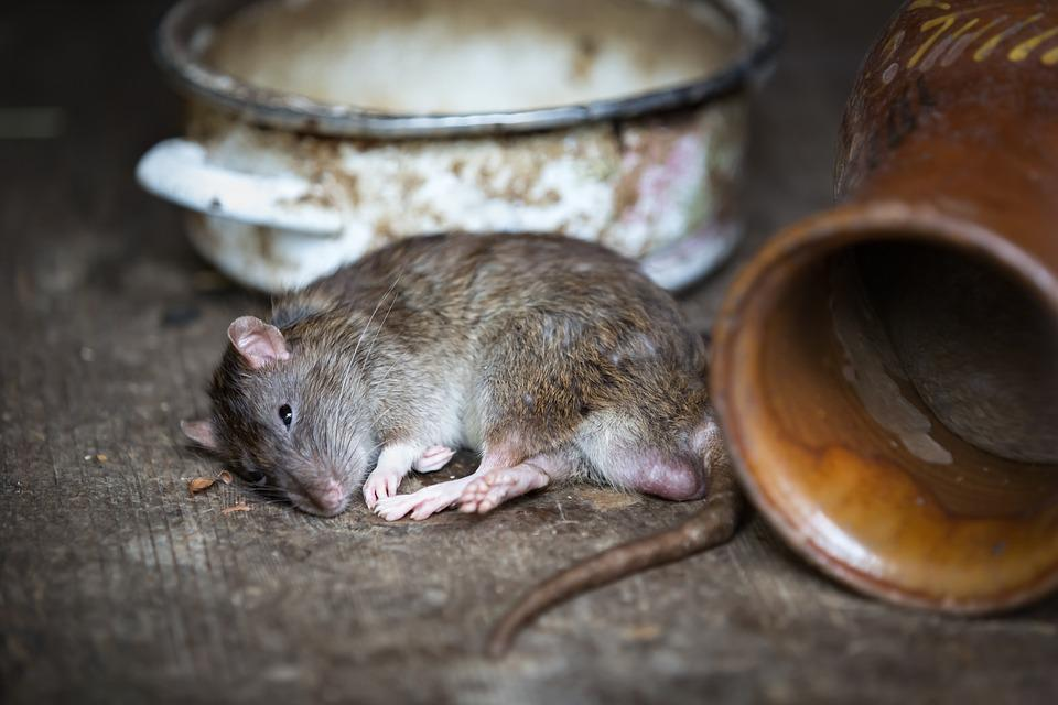 900+ Free Pest & Rat Images - Pixabay