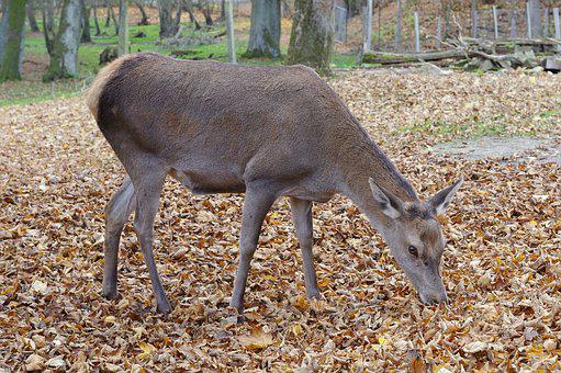 Roe Deer, Forest, Wild, Nature