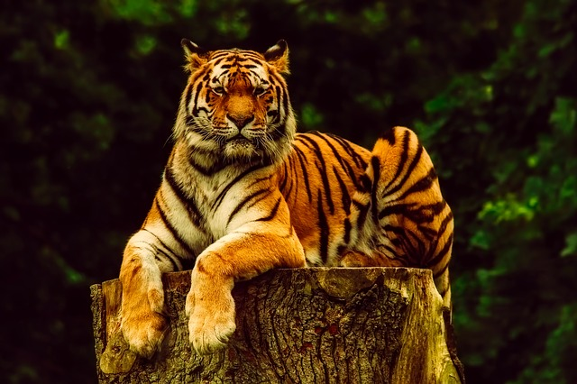 Tiger Animal Wildlife 183 Free Photo On Pixabay