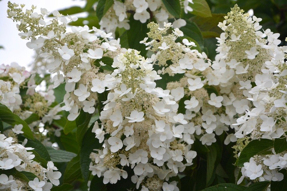 Flowers small white free photo on pixabay flowers small white flowers hydrangea white cone mightylinksfo