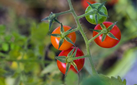 完和、実、トマト、食の産、赤、菜、野菜、健康、食品