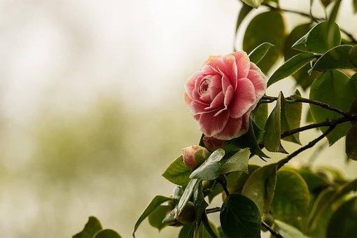Camelia, Flor, La Naturaleza, Planta