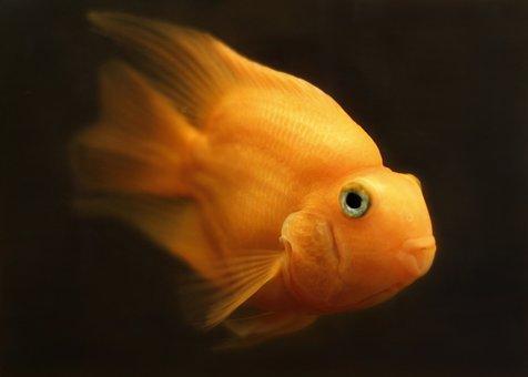 Download 460 Gambar Ikan Mas Di Korang Terbaru