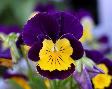 Purple pansy images pixabay download free pictures pansy flower purple and yellow flower mightylinksfo