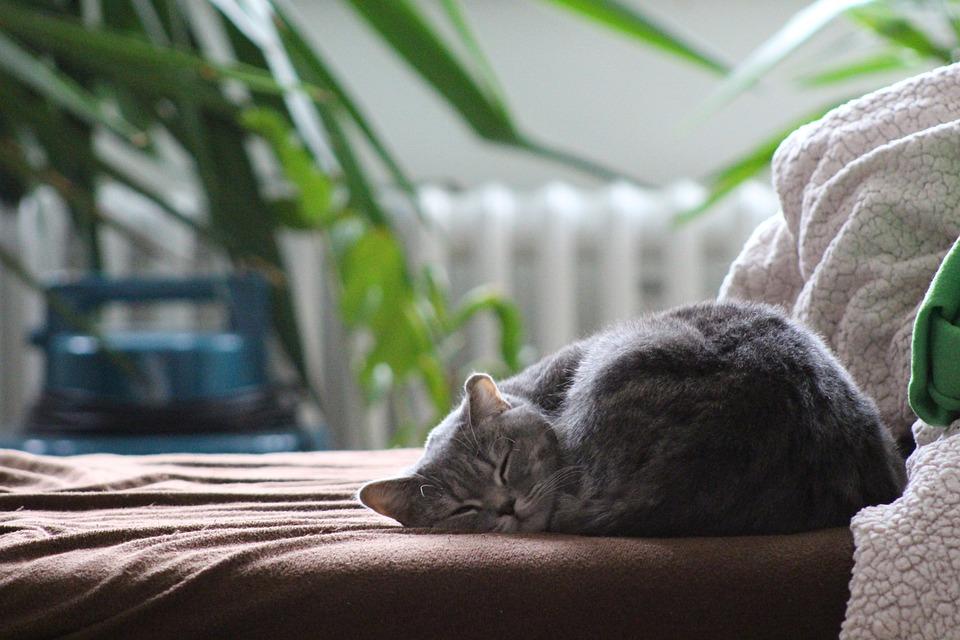 Cat, British Shorthair Cat, Sleeping Cat, Domestic